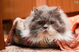 Caring For The Elderly cat - Special Considerations